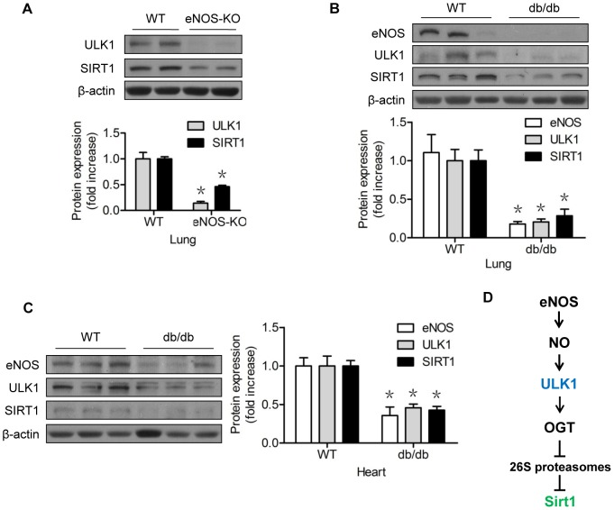 The NO-ULK1-SIRT1 pathway might be operative in the whole animal. (A) Western blots of lung tissues of wild-type (C57BL/6J) and eNOS knock-out mice; (B) Western blots of lung tissues of wild-type (C57BL/6J) and db/db mice; (C) Western blots of lung tissues of wild-type (C57BL/6J) and db/db mice; (D) The proposed mechanism of the eNOS-derived NO regulation of SIRT1 protein turnover, which requires ULK1 and OGT, in vascular endothelial cells. *represents p