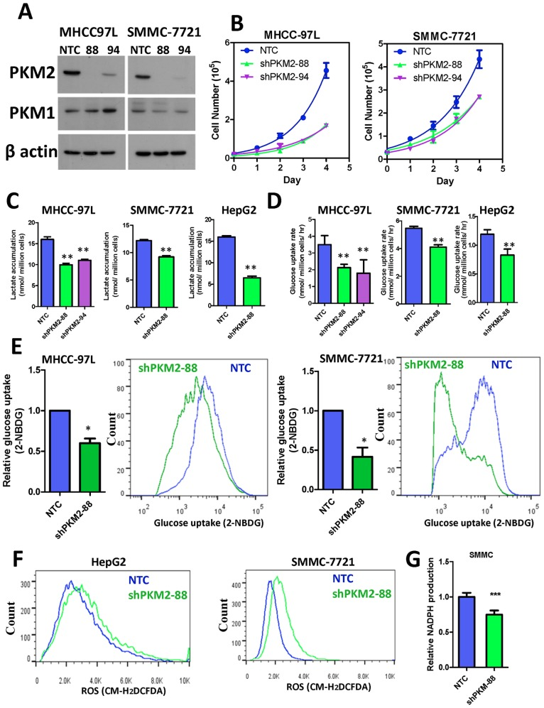 PKM2 promoted HCC growth in vitro through regulating aerobic glycolysis and ROS levels. (A) Two stable PKM2 knockdown clones were generated in MHCC-97L and SMMC-7721 cells. Expression of PKM2, PKM1, and β actin were evaluated by Western Blots. (B) Knockdown of PKM2 by two independent sequences consistently reduced HCC cell proliferation rate by cell counting. (C) Knockdown of PKM2 reduced lactate accumulation in multiple HCC cell lines. (D) Colorimetric assay showed that knockdown of PKM2 reduced the glucose consumption rate of multiple HCC cell lines. (E) Glucose uptake in HCC cells was confirmed with 2-NBDG staining. (F) Knockdown of PKM2 increased ROS accumulation in multiple HCC cells. (G) Knockdown of PKM2 decreased NADPH level in SMMC-7721 cells. Values were normalized to NTC of the according cell lines. * P