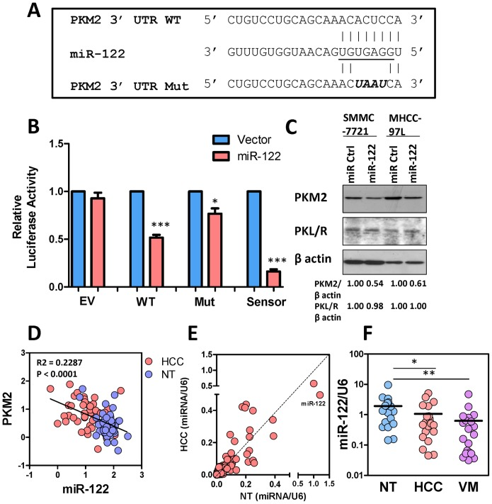 MiR-122 targeted PKM2 and suppressed PKM2 expression. (A) Seed sequence of miR-122 in the 3UTR of PKM2 was underlined. WT and mutated sequences of PKM2 were inserted into pmiRGLO luciferase vector. (B) Re-expression of miR-122 suppressed luciferase activity of the WT but not the Mut 3UTR of PKM2. EV and sensor sequences served as negative and positive controls, respectively. (C) Re-expression of miR-122 in SMMC-7221 and MHCC-97L cells suppressed PKM2 but not PKL/R expression. (D) Linear regression model demonstrated that PKM2 mRNA expression was inversely correlated with miR-122 expression in HCC (pink) and NT liver tissues (blue). (E) Expression levels of 667 miRNA species in HCC and NT were plotted. Each dot represents one individual miRNA. MiR-122 is the most abundant miRNA in NT liver. (F) MiR-122 expression in NT, HCC, and venous metastases (VM). Data were retrieved from low density microarray in which expressions of 667 miRNA species were compared between NT, HCC, and VM. B , * P