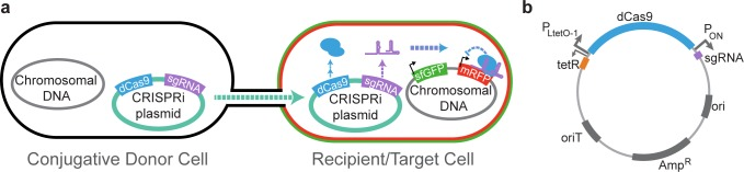 Design of CRISPRi Conjugative System. (A) Design of CRISPRi conjugation system. The conjugative donor strain <t>S17–1</t> contains chromosomal copies of genes necessary for conjugation from natural conjugative plasmid RP4, 3 and the recipient strain contains chromosomal insertions of mRFP and sfGFP. 1 The conjugative plasmid encodes a CRISPRi system specifically targeting mRFP. Once the CRISPRi plasmid is conjugated from the donor into the recipient and induced to produce dCas9, sgRNA and dCas9 form a complex and block the transcription of mRFP. (B) Design of CRISPRi conjugative plasmid. The CRISPRi system was cloned into the pARO190 plasmid, which is competent for conjugative transfer by the presence of an origin of transfer (oriT). 4 S. pyogenes dCas9 was placed under an aTc-inducible promoter (P LtetO-1 ) 1 , 5 while the sgRNA to mRFP was placed under a medium-level constitutive promoter (P ON , iGEM Parts Registry BBa_J23119). Plasmid contains ampicillin/carbenicillin resistance and is approximately 10.5 kb.