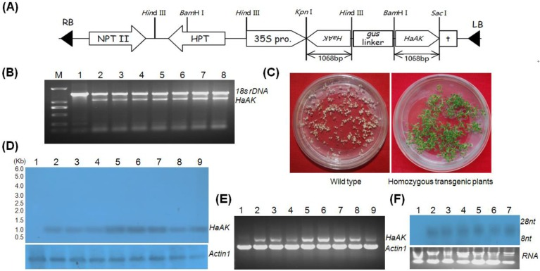 Generation and molecular analysis of transgenic plants. (A) Schematic representation of the pANDA35HK- dsHaAK expression cassettes used for <t>Arabidopsis</t> transformation. 35S pro, CaMV 35S promoter; HPT, hygromycin phosphotralsferase gene; NPT II, neomycin phosphotransferase II gene; HaAK , cDNA sequence of AK gene from H. armigera ; RB, right border; LB, left border; (B) Detection of HaAK in non-transformed control and transgenic plants by PCR. A 1,068 bp fragment of HaAK was amplified and 18s rDNA was served as a control. Lane M, <t>DNA</t> marker DL2,000; Lane 1, untransformed control; Lane 2-8, the transformants; (C) The wild and transgenic plants were grown on kanamycin-containing medium. The homozygous single-copy transgenic plants were selected through Mendelian segregation; (D) Northern blot detection of HaAK dsRNA in control and different transgenic lines. Lane 1, the non-transformed control; Lane 2-9, the transformants (line AtdsHaAK-2 , AtdsHaAK-3, AtdsHaAK-6, AtdsHaAK-7, AtdsHaAK-8, AtdsHaAK-9, AtdsHaAK-11 and AtdsHaAK-12 ); Actin1 was used as a reference and the DIG labeled probe for Actin1 was obtained by PCR using primers as described for RT-PCR. (E) RT-PCR amplification of HaAK in control and transgenic plants. A 1,068 bp fragment of HaAK was amplified and Arabidopsis Actin1 gene was used as a control. Lane 1, untransformed plant; Lane 2-9, the transformants (line AtdsHaAK-2 , AtdsHaAK-3, AtdsHaAK-6, AtdsHaAK-7, AtdsHaAK-8, AtdsHaAK-9, AtdsHaAK-11, AtdsHaAK-12 ); (F) Northern blot detection of small RNA fragments of HaAK in transgenic plants leaves . Lane 1, non-transformed plant; Lane 2-7, the transformants.