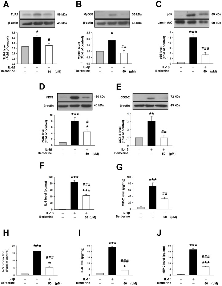 Berberine inhibited IL-1β-induced activation of TLR4/MyD88/NF-κB signaling in mixed glia and attenuated IL-1β-induced microglial activation. Representative immunoblots showing that co-treatment of 50 µM berberine with IL-1β for 1 day significantly reduced IL-1β-induced ( A ) toll-like receptor 4 (TLR4) expression ( B ) adapter protein myeloid differentiation factor 88 (MyD88) expression ( C ) p65 nuclear translocation ( D ) inducible nitric oxide synthase (iNOS) expression and ( E ) cyclooxygenase-2 (COX-2) expression by primary mixed glia. ( F, G ) Co-treatment of 50 µM berberine with IL-1β for 1 day significantly reduced IL-1β-induced secretion of IL-6 and macrophage inflammatory protein (MIP-2) as assessed by enzyme-linked immunosorbent assay from the supernatant of mixed glial cultures. Co-treatment of 50 µM berberine with IL-1β for 2 days significantly attenuated IL-1β-induced release of ( H ) nitric oxide (NO), ( I ) IL-6 and ( J ) MIP-2 from the supernatant of primary microglial cultures. Values are presented as mean ± SEM of four independent experiments. * P