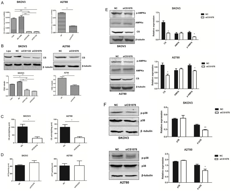 CS silencing affects AMPK/P38 MAPK pathway in ovarian cancer cell lines. ( A ) mRNA and (B) protein expression level of CS by real-time PCR and western blot in SKOV3 and A2780 cells after CS siRNA (100 nM) for 24 h and 48 h after transfection, respectively. ( C ) Decreased CS activity after 48 h transfection in SKOV3 and A2780 cells. ( D ) ATP level was examined 48 h after CS silencing. ( E, F ) p-AMPKα and p-p38 were analyzed in CS -silenced cancer cells by western blot. Mean ± SEM. * P