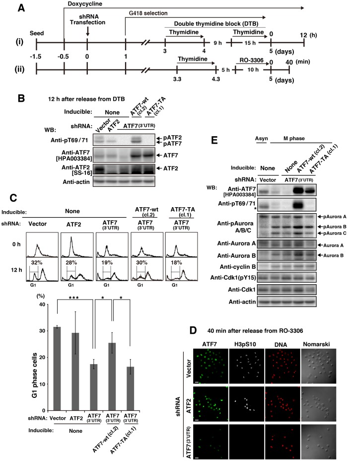 Involvement of ATF7 phosphorylation in Aurora signaling. ( A ) Schematic depiction of our knockdown-rescue experiments. Parental HeLa S3/TR, HeLa S3/TR/ATF7-wt (cl. 2), or HeLa S3/TR/ATF7-TA (cl.1) cells were treated with 1 µg/ml Dox for 12 h and then transfected with shRNAs. Knockdown cells selected using 600 µg/ml G418 in the presence of 1 µg/ml Dox were synchronized by (i) DTB or (ii) thymidine→RO-3306. ( B–D ) Knockdown cells were synchronized as described in (a)-(i) and collected 12 h after release from DTB. ( B ) Whole cell lysates were analyzed by WB. Full-length blots are presented in S12B Fig . ( C ) Cells were stained with PI for analyzing cell-cycle progression by flow cytometry (panels) and for quantitating G1-phase cells (graph). Values are means ± SD, n = 4 independent experiments. Asterisks indicate the significant differences (*P