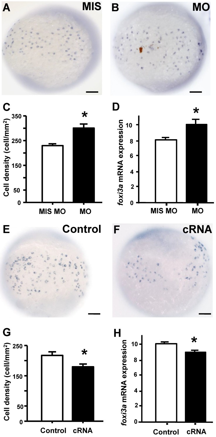 STC-1 negatively regulates foxi3a expression at the tail-bud stage. One-cell stage embryos were injected with an stc-1 morpholino (MO) (1.3 ng/embryo) or stc-1 cRNA (40 pg/embryo), and foxi3a mRNA was subsequently detected using in situ hybridization and qRT-PCR at the tail-bud stage. Mismatched- MO (MIS) and 1x Danieau solution (Control) were used as controls. The number of foxi3a -expressing cells in the surface of yolk and foxi3a mRNA expression were significantly increased by stc-1 MO (A-D), and significantly decreased by stc-1 cRNA (E-H). qRT-PCR values were normalized to that of beta-actin. Mean ± SEM ( n = 10 or 6). * Indicates a significant difference from the control (Student's t -test, p