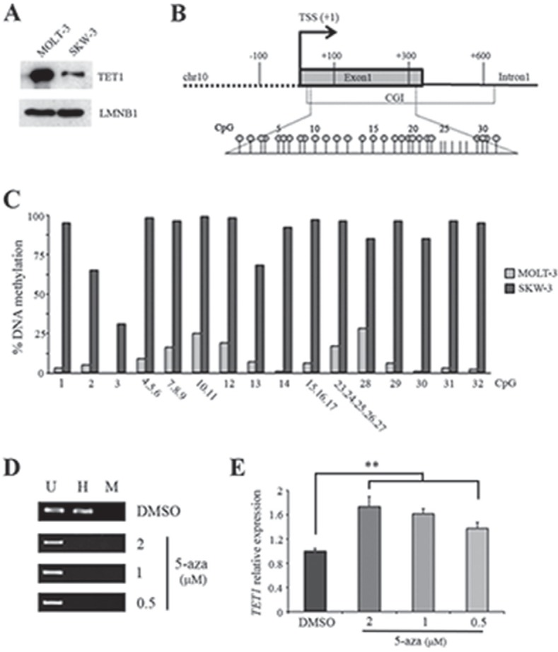 DNA methylation negatively regulates TET1 transcription (A) Western blot analysis of TET1 protein in MOLT-3 and SKW-3 cell lines. LAMIN B1 (LMNB1) was used as loading control. (B) Schematic representation of TET1 gene where the expanded region is the fragment investigated by EpiTYPER assay for DNA methylation analysis. Each stick is a CpG and each circle represents CpGs detectable by EpiTYPER assay. (C) DNA methylation analysis of TET1 CGI performed by using EpiTYPER assay. (D) Analysis of TET1 DNA methylation using MspI/HpaII restriction and PCR amplification performed on SKW-3 cells treated for 48 hrs with different doses of 5-azacytidine (5-aza). U, uncut; H, HpaII; M, MspI. (E) qRT-PCR analysis of TET1 gene expression on SKW-3 cells treated for 48 hrs with different doses of 5-aza. The results are shown as means ± S.E.M. (n=3). P-value was determined by paired Student's t-test (**P
