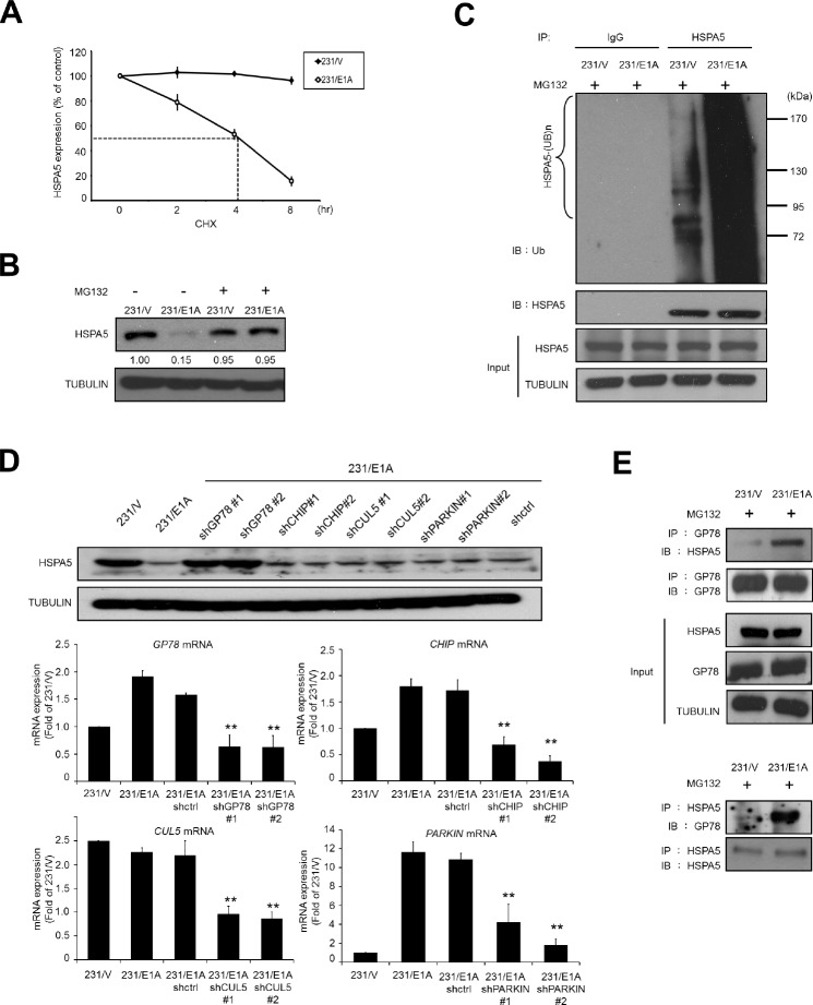 E1A decreases HSPA5 expression through GP78-mediated proteasomal degradation (A) Determination of the protein stability of HSPA5 in 231/V and 231/E1A cells. 231/V and 231/E1A cells were treated with 100 μg/ml cycloheximide (CHX) for the indicated times, and then following by Western blot analysis. Quantification of HSPA5 expression was performed three independent experiments using the Image J system and was normalized to the vehicle control. (B) 231/V and 231/E1A cells were treated with or without the proteasome inhibitor MG132 (5 μM) for 12 h, and HSPA5 expression was analyzed by Western blot analysis. The fold change in the protein expression is shown below the lanes, with the expression levels normalized to lane 1. (C) 231/V and 231/E1A cells were treated with the proteasome inhibitor MG132 (5 μM) for 12 h. Total cell lysates were prepared for in vivo ubiquitination assay. IgG was used as a control for the immunoprecipitation (IP) analysis. (D) 231/E1A cells were transfected with the indicated shRNAs, and HSPA5 expression was measured by Western blot analysis (top) and real-time RT-PCR (bottom). Data shown are mean ± s.e.m. of three independent experiments performed in triplicate. ** p