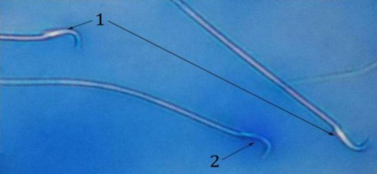 Two mature sperm (1) and one blue color immature sperm (2) in the <t>GA3</t> group (Aniline blue, 400×).