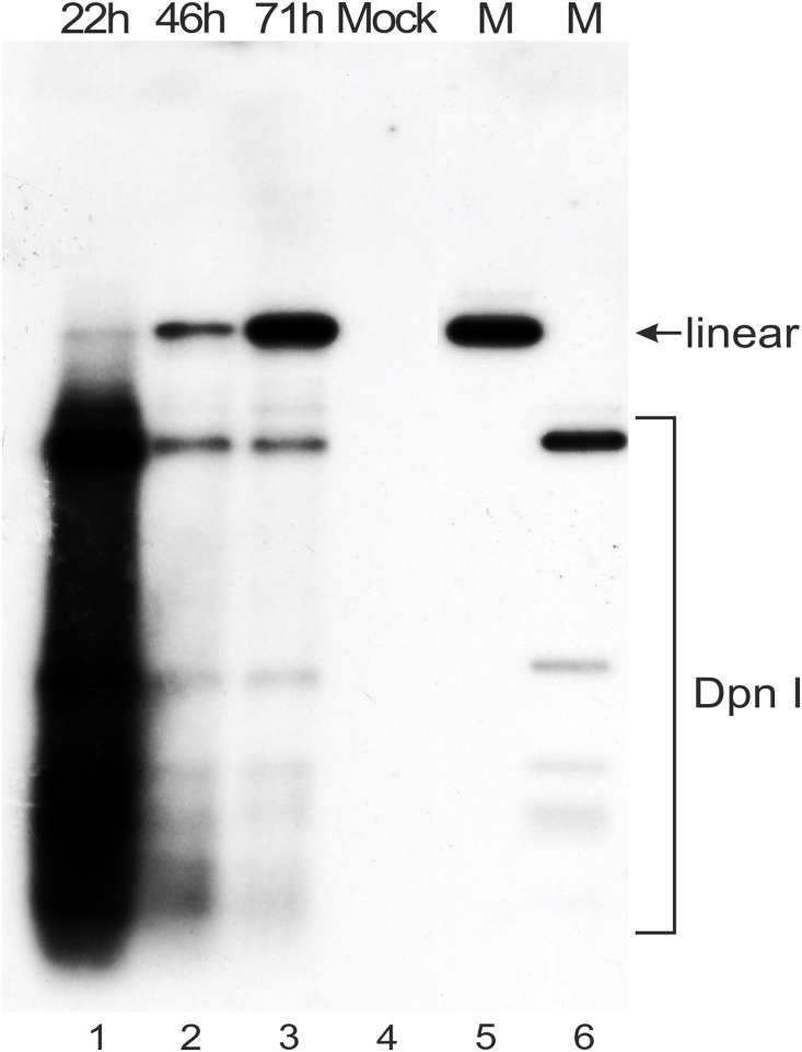 Southern blot analysis of HPV18 genome replication in U2OS cells that were transfected with 500 ng of the HPV18 genome miniplasmid. Extrachromosomal DNA samples were digested with BglI to linearize the HPV18 miniplasmid and with DpnI to fragment the bacterially produced input non-replicated plasmid. The samples were analyzed by Southern blotting after hybridization with an HPV18-specific radiolabeled probe. The DNA extraction timepoints (22, 46 and 71 hours) are indicated at the top. Extrachromosomal DNA extracted from mock-transfected U2OS cells was used as a negative control (lane 4). Size markers for the linearized HPV18 genome (lane 5, indicated by arrow) and for the DpnI+BglI digested fragments of the HPV18 genome miniplasmid DNA (lane 6) are included.