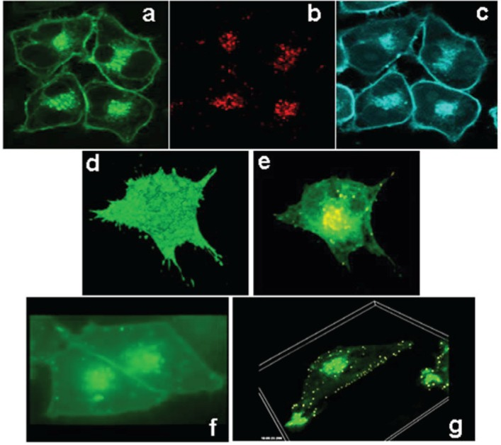 ABCG1-GFP traffics between the cell surface and late endosomes. ABCG1-GFP resides on the cell surface and intracellular vesicles ( a ; green ), vitally labeled with endocytosed Alexa594 dextran ( b ; red ), used as a marker for late endosomes/lysosomes. As seen in ( c ), the ABCG1 late endocytic vesicles are enriched with cholesterol as revealed by cholesterol-specific cytochemical <t>filipin</t> staining ( blue ). 3D reconstruction of the entire volume of an ABCG1-expressing cell shows ABCG1 in the cell surface ( d ; single frame from Movie 1). Rendering of the data set in ( d ) to reveal intracellular ABCG1 ( e ) demonstrates the colocalization of ABCG1 ( green ) in late endosomes, labeled as in ( b ) with fluorescent dextran ( red ), as yellow punctate structures in this merged image. Note the ABCG1 late endosomes/lysosomes localize in abundance in the perinuclear region as well as in peripheral locations close to the cell surface ( e ; single frame from Movie 2); ( f ) Time lapse confocal microscopy reveals trafficking of ABCG1-late endosomes between the perinuclear region and cell surface as well as contact of ABCG1-late endosomes with each other and the PM (Single frame from Movie 3); ( g ) 3D-Time lapse confocal microscopy shows extensive interaction of ABCG1 late endosomes with the cell surface (Single frame from Movie 4).