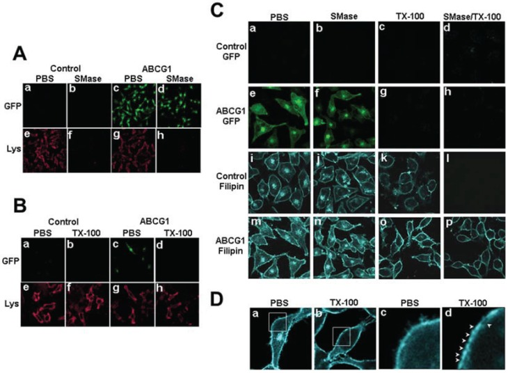 """ABCG1-GFP alters cholesterol detergent solubility. ( A ) Control and ABCG1 cells were incubated with PBS or SMase, washed, fixed and immunostained with lysenin as described in """" Experimental Section """". ( B ) Control and ABCG1 cells were incubated with cold PBS or 1% TX-100 detergent for 30 min, washed, fixed and immunostained with lysenin as described in """" Experimental Section """". ( C ) Control and ABCG1 cells pre-treated with or without SMase, were extracted with 1% TX-100 on ice for 30 min, fixed, filipin stained, and imaged by confocal microscopy as described in """" Experimental Section ."""" ( D ) Higher magnification of filipin-stained AGCG1 cells clearly reveals that LE FC (a) is removed by TX-100 (b). Enlargements of the boxed regions in (a) and (b), shown in (c) and (d), respectively, reveal that TX-100 treatment depleted FC from PM domains ( arrowheads )."""