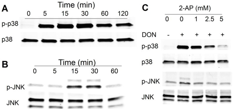 Trichothecene deoxynivalenol (DON) induces protein kinase (PKR)-dependent ribotoxic stress response in HeLa cells. Kinetics of DON-induced phosphorylation of ( A ) p38; and ( B ) c-jun N-terminal kinase(JNK) HeLa cells were treated with 500 ng/mL of DON for indicated time intervals and then p38 and JNK phosphorylation was determined by Western analysis; ( C ) PKR inhibitor 2-aminopurine (2-AP) suppresses DON-induced p38 and JNK phosphorylation. HeLa cells were pretreated with PKR inhibitor 2-AP at indicated concentrations for 1 h, exposed to DON (500 ng/mL) for 15 min and then p38 and JNK phosphorylation was determined by Western analysis. Data are representative of at least two replicate experiments.