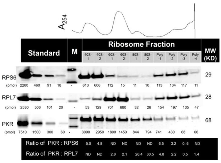 Multiple PKR molecules associate with 40S, 60S, 80S and polysomes in naïve HeLa cells. Stoichiometry was assessed by density gradient fractionation of ribosomes from naive HeLa cell lysate in conjunction with quantitative Western blotting using the Li-Cor Odyssey Infrared Imaging System. M indicates molecular weight markers. ND indicates not determined; Results are representative of three identical.