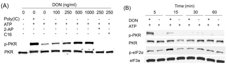 DON induces transient <t>PKR</t> activation in <t>HeLa-based</t> cell-free system. ( A ) DON (100, 250, 1000 ng/mL), poly (IC) (100 ng/mL) and/or PKR inhibitors, 2-AP (2 mM) and C16 (2 µM), were added to a cell-free system comprised of HeLa-based cell-derived, translationally active cell-free system containing ribosomes and ATP but devoid of cell membrane, nuclei, mitochondria, DNA and mRNA. After incubation for 20 min at 30 °C, Western analysis was conducted with PKR and p-PKR antibodies; ( B ) HeLa-based cell-free assay mixtures were incubated with DON (250 ng/mL) for indicated time intervals and subjected to Western blotting with PKR, p-PKR and eIF2α, p -eIF2α antibodies. Data are representative of at least three replicate experiments.