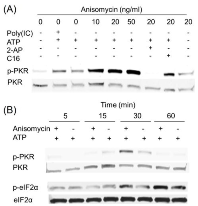 Anisomycin induces transient PKR activation in HeLa cell-free system. ( A ) Anisomycin (10 to 50 ng/mL), poly (IC) (100 ng/mL) and/or PKR inhibitors, 2-AP (2 mM) and C16 (2 µM), were added to HeLa-based cell-free assay mixtures. After incubation for 20 min at 30 °C, Western analysis was conducted with PKR and p-PKR antibodies; ( B ) HeLa-based cell-free assay mixtures were incubated with anisomycin (20 ng/mL) for indicated time intervals and subjected to Western blotting analysis with PKR, p-PKR and eIF2α, p-eIF2α antibodies. Data are representative of at least three replicate experiments.