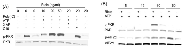 Ricin induces transient PKR activation in HeLa cell-free system. Experiment conditions were as described in Figure 4 legend except that ricin was used instead of anisomycin.