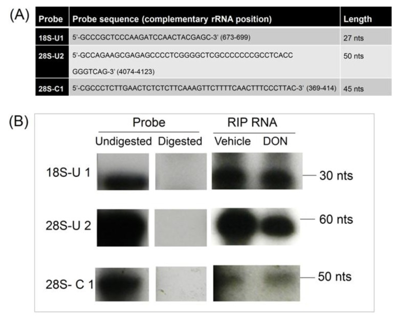 DON does not alter PKR binding to rRNA in HeLa-based cell-free assay mixtures. ( A ) Sequences and sizes of 32P labeled probes for 18S-U1 28S-U2 and 28S-C1; ( B ) Radiolabeled probes were incubated with immunoprecipitated RNAs from control and DON-treated HeLa extracts, subjected to RNase treatment, separated by urea-PAGE and analyzed by autoradiography.