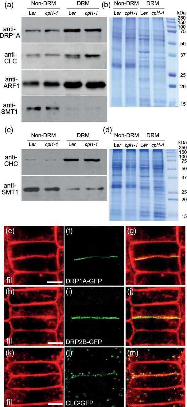 DRP1A is enriched in DRMs and co-localizes with sterols at the cell plate.(a–d) Western blot analysis of DRM fractions from 3-week-old Arabidopsis callus cultures of wild-type L er and the cpi1 - 1 mutant (in the L er background). Equal amounts of membrane protein were loaded from the control fraction mock-extracted at a Triton X-100 detergent/protein (w/w) ratio of 0 (non-DRM) and the DRM fraction extracted at a Triton X-100 detergent/protein (w/w) ratio of 8 (DRM). Similar results were obtained in three independent experiments.(a) Western blot from DRM extractions probed with anti-DRP1A (isoform-specific), anti-CLC (generic), anti-ARF1 (generic) and anti-SMT1 (isoform-specific) antibodies.(b) Replicate Coomassie Blue gel as a loading control for the blot in (a).(c) Western blot from DRM extraction probed with anti-CHC (generic) and anti-SMT1 (isoform-specific) antibodies.(d) Replicate Coomassie Blue gel as a loading control for the blot in (c).The results in (a) and (c) indicate enrichment of DRP1A, CLC2, CHC and ARF1 in DRMs compared to depleted SMT1.(e–m) Co-localization analyses at the cell plate in late cytokinetic cells: (e,h,k) filipin-sterol fluorescence (fil, red); (f) DRP1A–GFP, (i) DRP2B–GFP and (l) CLC2–GFP fluorescence (green). (g,j,m) Merged images of (e) and (f), (h) and (i), and (k) and (l), respectively. Scale bars = 5 μm.