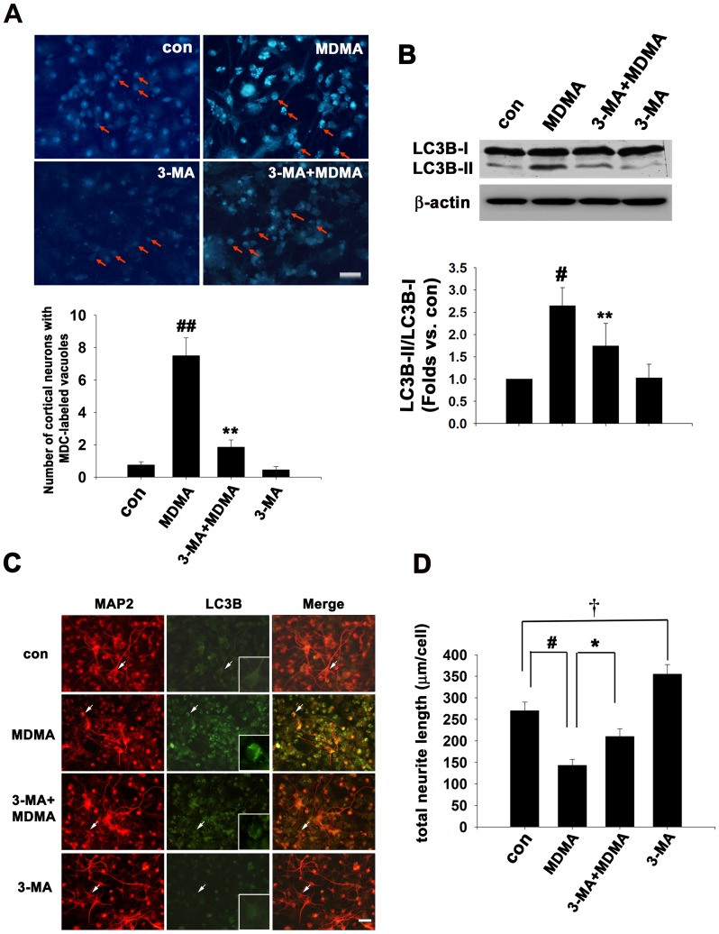 3-MA decreased MDMA-elicited autophagy activation and neurite degeneration. Cultured cortical neurons were exposed to 1 mM MDMA for 48 h in the presence or absence of 1 mM 3-MA for 48 h. Autophagy activity was assay by MDC incorporation, western blot analysis and double immunofluorescence staining with anti-LC3B and MAP2 antibodies. (A) The autophagic vacuoles were visualized by monodansylcadaverine (MDC) staining and the mean number of MDC-labeled vacuoles per cortical neurons (arrows) was quantitation. Quantitative data are expressed as mean ± S.D. n = 3. ## P