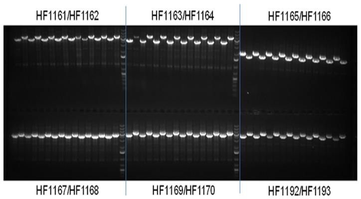 PCR screening of multi-fragment assembled clones from Table 3 . Eight clones (colonies) from each construct were grown overnight in the 96-well plate containing LB + Spectinomycin (50 ug/ml). One µl of the over-night grown cell culture was used for PCR screening with base vector primers (18 bp) located immediately upstream of the promoter and downstream of the terminator. PCR products for each construct were loaded every other lane on a 1.0% agarose gel (containing ethidium bromide) with a multi channel pipette. GeneRuler 1 kb Plus DNA Ladder was used as the DNA marker.