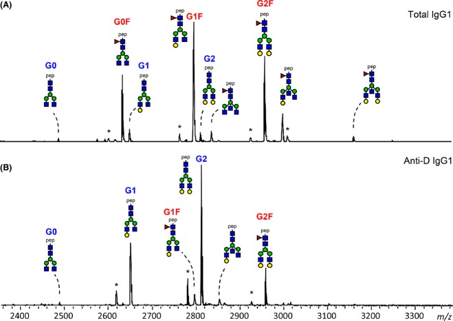 IgG1 glycosylation profiles of a pregnant woman with anti-D. Tryptic IgG1 Fc glycopeptides of total IgG1 (A) and anti-D specific IgG1 (B), affinity-purified from the serum of a pregnant woman, were measured by positive-ion reflectron mode matrix-assisted laser desorption/ionization time-of-flight mass spectrometry. The profile shown represents specific antibodies with a low fucosylation of 16%, while the total IgG1 was highly fucosylated (94%). For the assignment and the definitions of the glycopeptides signals see Fig 1 . Pep, peptide moiety; *, contaminant.