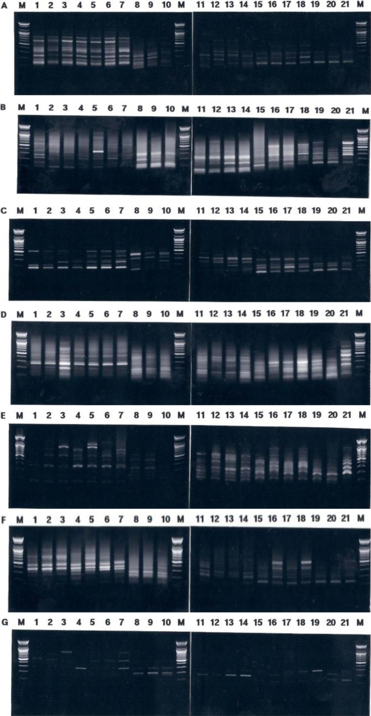 <t>PCR-based</t> electrophoretic outlines of individuals acquired from three mollusk species. <t>DNA</t> isolated from Notoacmea concinna (lane 1~7), Sulculus diversicolor supertexta (lane 8~14) and Haliotis discus hannai (lane 15~21) were amplified by decamer primers BION-55 (A), BION-50 (B), BION-75 (C), BION-35 (D), BION-61 (E), BION-69 (F) and BION-66 (G). The PCR products were separated by 1.4% agarose gel electrophoresis and detected by ethidium bromide staining. Each lane shows DNA samples extracted and purified from 21 individuals. 100 bp ladder was used as a DNA molecular size marker (M).