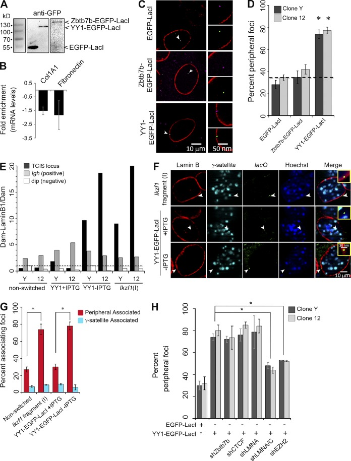 YY1 targets chromatin to the nuclear periphery. (A) Expression of YY1 and Zbtb7b fusions to EGFP-LacI were verified by immunoblotting by detection with α-GFP. (B) qRT-PCR of Col1A1 and fibronectin in FB cells overexpressing Zbtb7b-EGFP-LacI. (C) Representative images of 3D DNA immuno-FISH. EGFP-LacI, YY1-EGFP-LacI, or Zbtb7b-EGFP-LacI fusion proteins detected by α-LacI (magenta, arrowheads) colocalize with the TCIS insert site ( lacO probe, green, arrowheads) and LMNB1 (red). (D) Quantitation of 3D DNA immuno-FISH for lacO /LacI position in two TCIS clones ( n ≥ 50; *, P ≤ 0.001). Dotted line is the approximate peripheral association of the nonrecombined TCIS insert. (E) qPCR analysis of Dam-LMNB1/Dam in clone Y and 12 under the indicated conditions. A value > 1 for (Dam-LMNB1/Dam only) indicates enrichment. Primers to the TCIS locus, the Igh locus (positive control), and a non–lamina-associated region, dip (negative control), were used for amplification. The data shown are from a single representative experiment. Dotted line is a ratio of 1 for Dam-LaminB/Dam. (F) Representative images of 3D DNA immuno-FISH in clone Y containing either Ikzf1 (I) LAS or YY1-EGFP-LacI (±IPTG). LMNB1 (red), γ-satellite (cyan), lacO probe (green), and Hoechst (blue) are shown. Arrowheads show the disposition of lacO arrays. Insets are 300× magnifications. (G) Quantitation of 3D DNA immuno-FISH for lacO position in relationship to both the nuclear lamina and γ-satellite DNA with either Ikzf1 (I) LAS integrated or YY1 bound ( n ≥ 50; *, P ≤ 0.001). (H) Quantitation of the disposition of lacO sites by 3D immuno-FISH analysis in clone 12 and Y overexpressing YY1-EGFP-LacI (−IPTG) before and after shRNA-mediated knockdown (as indicated; n ≥ 50; *, P ≤ 0.001). Error bars indicate SD.
