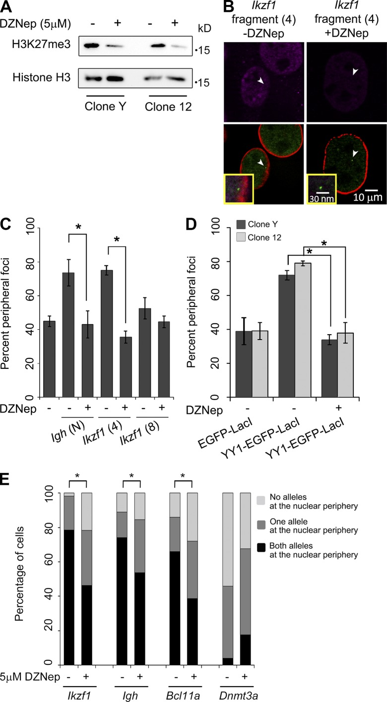 DZNep treatment leads to loss of peripheral targeting. (A) Immunoblot analysis of H3K27me3 in clones 12 and Y ±5 µM DZNep treatment for 24 h. (B) Representative images of clone Y harboring the Ikzf1 (4) LAS, ±DZNep treatment. EGFP-LacI foci (green, arrowheads) are shown relative to LMNB1 (red) and H3K27me3 (magenta). Insets are 300× magnifications. (C) Quantitation of IF for DZNep treatment of clone Y harboring Igh (N) and Ikzf1 (4) LAS and a nontargeting fragment Ikzf1 (8) ( n ≥ 50; *, P ≤ 0.05). (D) Quantitation of IF of 24-h, 5 µM DZNep-treated clones Y and 12 expressing EGFP-LacI or YY1-EGFP-LacI ( n ≥ 50; *, P ≤ 0.001). Error bars are SD. (E) Quantitation of 3D DNA immuno-FISH for the indicated endogenous loci in MEFs treated with 5 µM DZNep (24 h) MEFs ( n ≥ 50; *, P ≤ 0.05).