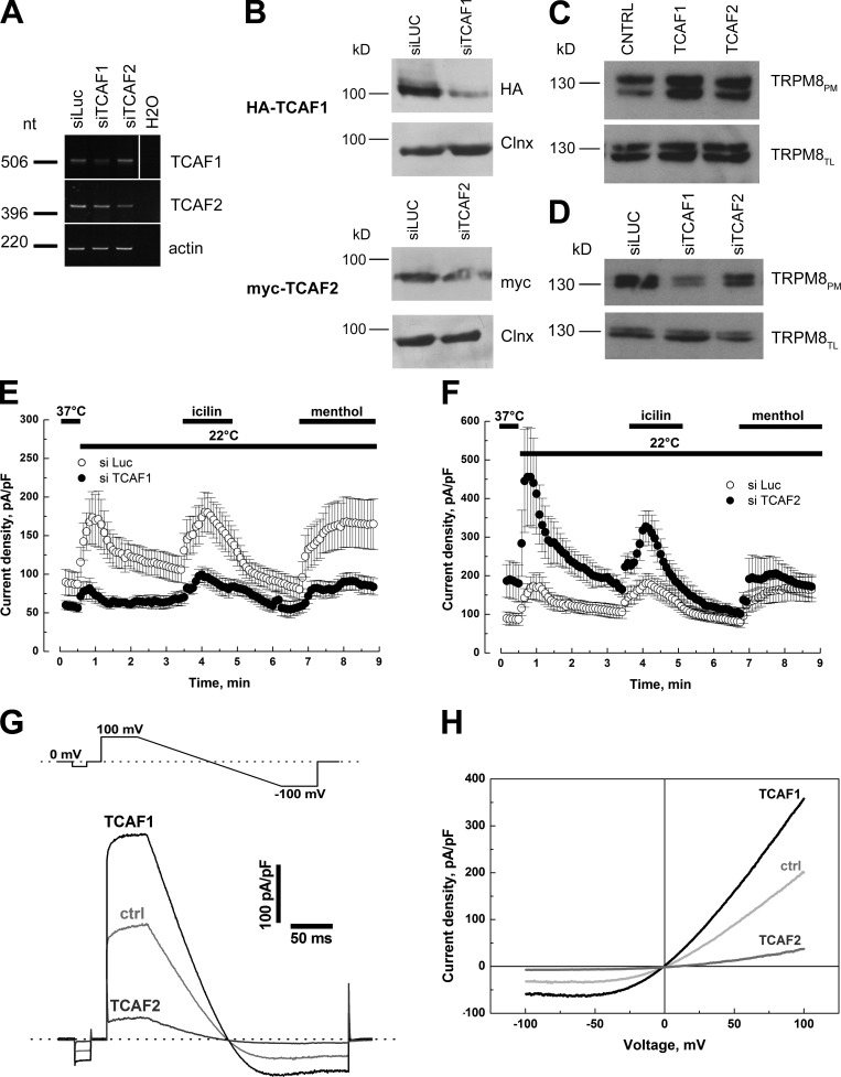 TCAF1 and TCAF2 proteins have opposing effects on TRPM8 activity. (A) Reverse-transcription PCR showing the specific decrease of TCAF1 (top) and TCAF2 (bottom) bands after cell transfection with 100 nM of the respective siRNAs. Actin was used to normalize relative expression, and siRNA to luciferase was used as a negative silencing control (siLuc). The white line on the TCAF1 gel indicates the removal of intervening lanes for presentation purposes. (B) Western blot analysis confirming the siRNA effect on HA-TCAF1– (top) and myc-TCAF2–transfected cells (bottom). Calnexin (Clnx) was used as a loading control. (C and D) Cell surface biotinylation analysis of TRPM8-transfected cells cotransfected with the empty vector (CTRL), TCAF1, or TCAF2 (C), or co-treated with siLuc, siTCAF1, or siTCAF2 (D). TRPM8 expression was analyzed by immunoblotting the plasma membrane fraction (TRPM8 PM ) or total cell lysates (TRPM8 TL ). Shown is the mean time course of cold- (22°C), icilin- (10 µM), and menthol-activated (500 µM) I TRPM8 in LNCaP cells transiently transfected with TRPM8 and treated with siLuc (open circles), siTCAF1 (E), or siTCAF2 (F; closed circles). Values are expressed as means ± SEM (error bars). (G) Single traces of menthol-evoked currents recorded in a representative LNCaP cell (out of five different cells per condition) transfected with TRPM8 and either an empty vector (ctrl), TCAF1, or TCAF2. Stimulation protocol is presented in the top panel. The corresponding IV relationships are presented in H.