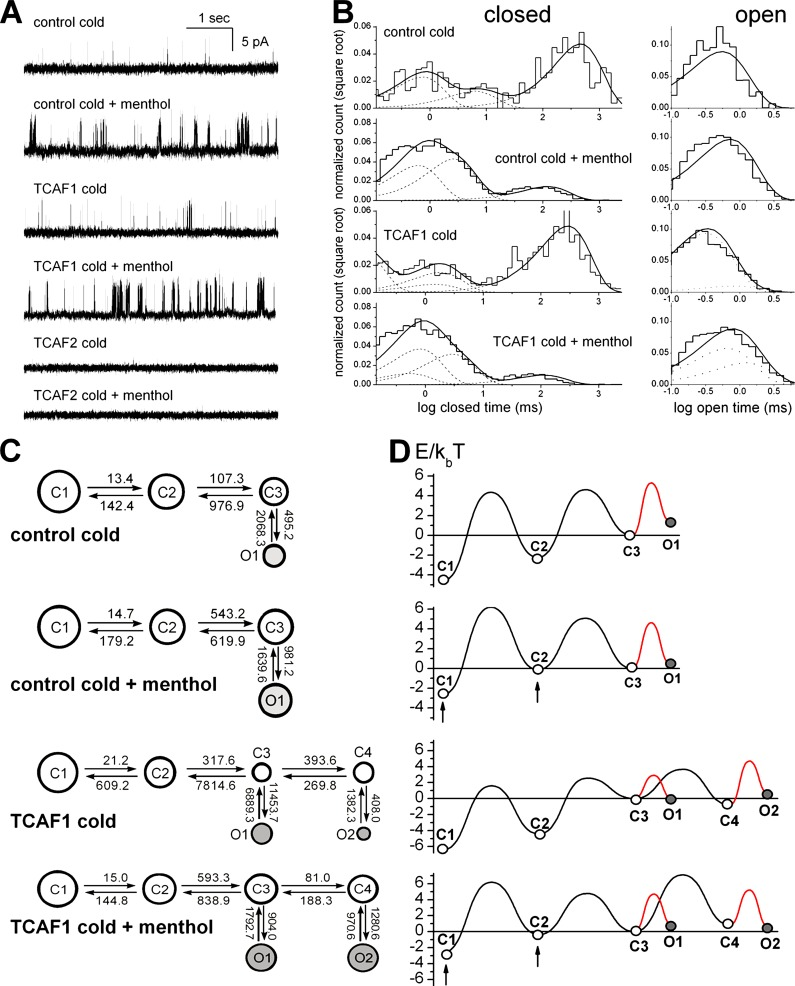 TCAF1 interaction with TRPM8 introduces new kinetic states. (A) Representative trace fragments of control and TCAF1-bound TRPM8 activity stimulated by cold (T = 20°C, controlled by room thermostat) or cold + 100 µM menthol, as indicated. (B) Representative distributions of closed (left) and open ( Chetrite et al., 2000 ) dwell times in the traces of control and TCAF1-bound TRPM8 activity stimulated as indicated. The histogram shows the distribution of dwell times. The thick continuous line represents the cumulative best fit corresponding to the kinetic model used (C) and broken lines represent individual components of the fit. (C) Kinetic models providing the best fit to the control and TCAF1-bound TRPM8 activity. The area of each circle is proportional to the log of total time spent the corresponding state. Kinetic rates are indicated as numbers associated with the corresponding arrows. (D) Energy landscapes calculated from the corresponding kinetic models. Arrows point to significantly shifted energies in corresponding states caused by menthol stimulation. Note that contrary to the effects of different modes of TRPM8 stimulation (shifts in state energies), the interaction with TCAF1 leads to the appearance of new kinetic states.