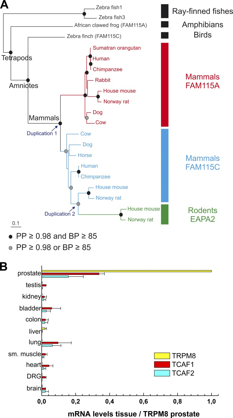 Bayesian phylogenetic tree of the vertebrate TCAF1 / TCAF2 / TCAF3 genes and tissue expression pattern of the human homologues. (A) The maximum likelihood tree was similar but for one node: the cow and horse FAM115C sequences were sister groups. The phylogenetic reconstruction displays two duplication events, one during the early period of mammalian evolution and the other during rodent evolution. The scale bar represents the number of expected changes per site. (B) Analysis of TRPM8, TCAF1, and TCAF2 mRNA expression levels by qPCR in several human tissues. Values are expressed relative to 18S rRNA expression, and further normalized to TRPM8 levels in the prostate. Values are presented as means of three experimental repeats ± SEM (error bars; n = 3 for a single experiment).