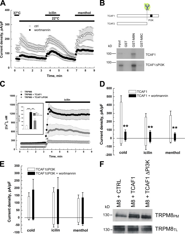 TCAF1 exhibits a PI3K homology domain that is critical for the TCAF1 modulation of TRPM8 activity. (A) Mean time course of cold- (22°C), icilin- (10 µM), and menthol-activated (500 µM) I TRPM8 in LNCaP cells pretreated (closed circles) or not (ctrl, open circles) for 15 min with 1 µM wortmannin. For pretreated cells, experiments were performed in the continuous presence of wortmannin at the same concentration. Currents were monitored at +100 mV, and results are presented as means ± SEM (error bars). (B) GST pull-down assay between [ 35 S]methionine-labeled TCAF1 or TCAF1 ΔPI3K protein and GST or GST fused to the TRPM8 N-terminal tail (GST-M8N) or C-terminal tail (GST-M8C). A schematic representation of TCAF1 and TCAF2 protein sequences and the putative PI3K site is shown. (C) Time course of mean intracellular Ca 2+ concentration in LNCaP cells transfected with TRPM8 and an empty vector (ctrl, open circles), wild-type TCAF1 (TCAF1, black closed circles), or a truncated TCAF1 lacking the PI3K domain (TCAF1 ΔPI3K , gray closed circles). Cells were loaded with Fura 2-AM, exposed to 10 µM icilin, and variations in [Ca 2+ ]i were monitored using an imaging system. Results are presented as means ± SEM (error bars). (inset) Histogram summarizing calcium imaging results (**, P
