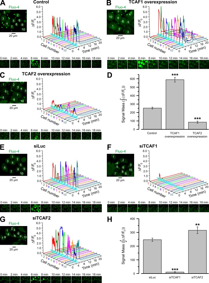 The menthol-induced response of endogenous TRPM8 is modulated by TCAF1 and TCAF2. (A–G) Changes of [Ca 2+ ] i in response to the activation of TRPM8 with 200 µM menthol were monitored using an x-y time-series imaging of fluo-4 fluorescence in control LNCaP cells (A), LNCaP cells overexpressing TCAF1 (B) or TCAF2 (C), and LNCaP cells pretreated with siLuc (E), siTCAF1 (F), or siTCAF2 (G). Images were acquired at 0.6 Hz from confocal optical slices