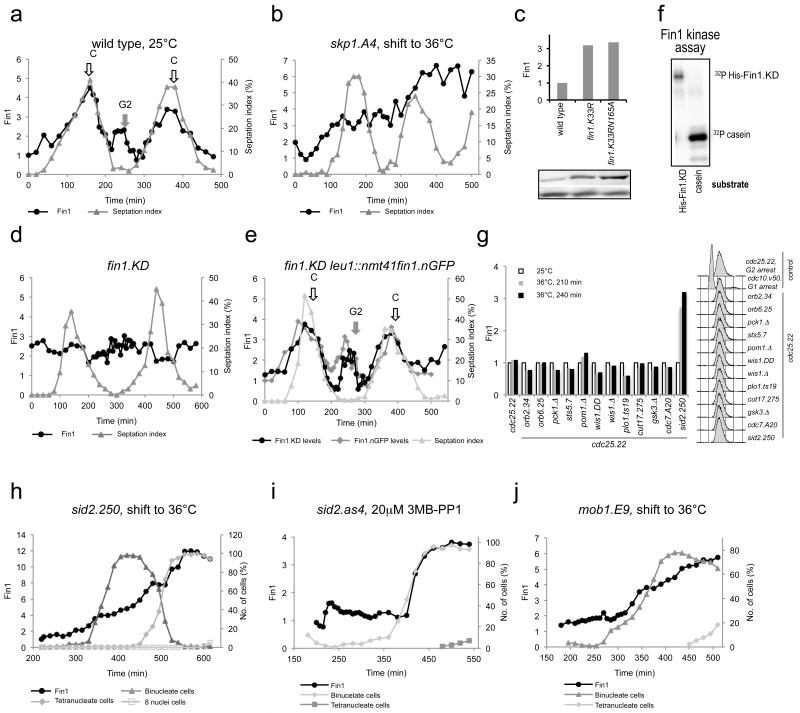 """Fin1 kinase is destroyed twice each cell cycle in a Cullin, Fin1 and Sid2 dependent manner (a, b, d, e, h-j) Fin1 levels were normalised to those of Cdc2 kinase in the same lane on the same blot and plotted against time as cells transit the cell cycle (for images of blots see Supplementary Figure 1b ). (a) Fin1 levels declined at two points in wild type cultures; mid-G2 (grey arrow """"G2"""") and during septation (open arrow """"C""""). Destruction was seen irrespective of whether the culture was maintained at 25°C throughout the experiment, or shifted to 36°C immediately after size selection ( Supplementary Figure 4c ). (b) Oscillations in Fin1 levels were not seen after synchronised skp1.A4 cultures were shifted to 36°C immediately after size selection at 25°C to inactivate Skp1. (c, g) Normalised Fin1 levels in blots of asynchronous or cdc25.22 arrested double mutant cultures reveal three fold increases in Fin1 levels in the fin1.K33RN165A """"kinase dead"""" and sid2.250 backgrounds. (d) Fin1 levels did not fluctuate as fin1.K33RN165A cultures transited a synchronised cell cycle. (e) Strikingly the levels of both the inactive fin1.K33RN165A protein and the GFP tagged wild type protein oscillate as cells transit the cell cycle when a wild type Fin1.GFP fusion protein was constitutively expressed within the same cells. (f) Fin1 immunoprecipitates from asynchronous cells were employed in kinase assays that used recombinant or casein as substrates. (g) Left: 210 and 240 mins refers to the duration of incubation at 36°C to inactivate and arrest cell cycle progression at the G2/M boundary. Right: FACS profiles of DNA content demonstrate G2 arrest in all strains. (h-j) Assessing the impact of Sid2/Mob1 function upon Fin1 levels in size selected synchronised cultures. (h, j) sid2.250 and mob1.E9 cultures were maintained at 25°C during transit through the first cell division before a portion of the culture was shifted to 36°C to inactivate the kinase/regulatory subunit. (i) A sid2.as4 cu"""