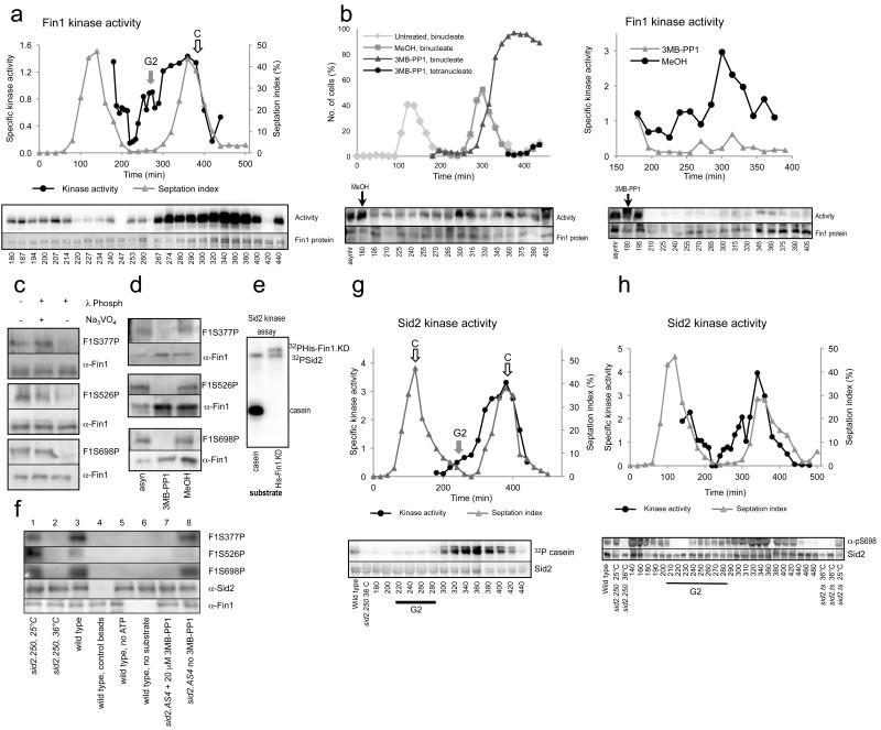 Sid2 phosphorylation of Fin1 on serines 377, 526 and 698 promotes Fin1 activity in G2 phase before a peak of each kinase activity accompanies mitotic progression (a, b) Fin1 Kinase assays from size selected cultures in which His tagged Fin1.KD was labeled with 32 PγATP to quantitate activity that is plotted alongside the septation profile. (a) wild type (b) Small G2 sid2.as4 skp1.A4 cells were isolated from a culture grown at 25°C and immediately shifted to 36°C to inactivate Skp1 (and so preserve activated Fin1) at t=0. The culture was split in two and 20 μM 3-MB-PP1 (left assay) or solvent alone (right assay) added after the first division at t = 180. (c, d) Fin1 immunoprecipitates from asynchronous skp1.A4 (c) or cell size selected sid2.as4 skp1.A4 (d) cultures were split in two and probed with antibodies that recognise the indicated phosphorylation sites or polyclonal antibodies that recognise the non-catalytic domain of Fin1. See Supplementary Figure 3g for details of the scheme used for each of the three identical cultures used to generate the samples and Supplmentary Figure 3h for the phenotypic characterisation of one of the three cultures. Samples from asynchronous cultures are run in the left lane in each case to provide a reference standard. (e) Sid2 immunoprecipitates were isolated from asynchronous cultures and employed in in vitro kinase assays utilising 32 PγATP and either recombinant Fin1.KD or casein as indicated. Plots show activity per unit protein (i.e. specific activity) f) Blots with the indicated antibodies of in vitro kinase assays in which the indicated forms of Sid2 were isolated from the respective strains and combined with recombinant Fin1.KDnHis. (g) The incorporation of 32 P into casein from 32 PγATP was used to monitor Sid2 activity in size selected wild type cultures. (h) Sid2 immunoprecipitates were processed as for panel g with the exception that the shorter Fin1.FP1 (non-catalytic C terminal domain 21 ) was used as a substrate and 