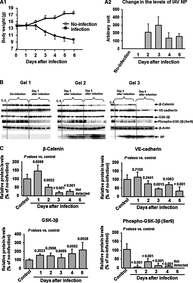 β-Catenin suppression and <t>GSK-3β</t> activation in lungs of IAV-infected mice. A1, change in body weight of infected and uninfected mice (five mice in each group). A2, change in viral NP levels in the lungs monitored by western immunoblotting (B). One infected animal died on day 6 postinfection. The values represent the mean ± SD of five or four mice. B and C, Data represent the expression levels (B) and relative quantified data (C) of β-catenin, VE-cadherin, GSK-3β, and phospho-GSK-3β (Ser9) in lung extracts (20 μg protein/lane) of control (no-infection) and IAV-infected mice from day 1 to day 6 postinfection. C.S., calibration standard (mixture of uninfected sample except for NP analysis) to normalize the intensity of protein bands in different gels. As the C.S. for NP, a sample from one animal after infection for 4 days was used. β-Actin was used as an internal control. Data are representative of three separate experiments. Multiple comparison (Dunnett test) after ANOVA were used for statistical analysis. P -values are relative to the control (no infection)