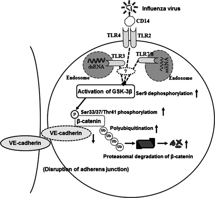 Diagram illustrating the proposed mechanism of disruption of the adherens junctional complexes of vascular endothelial cells after severe IAV infection. Infection of vascular endothelial cells with IAV decreases β-catenin in the VE-cadherin-β-catenin adhesive complex by activation of GSK-3β and the phosphorylation-dependent ubiquitin-proteasome degradation pathway. TLR, Toll-like receptor; dsDNA, double-stranded DNA; ssRNA, single-stranded RNA. The question mark indicates that signal transductions between TLRs and GSK-3β are unidentified