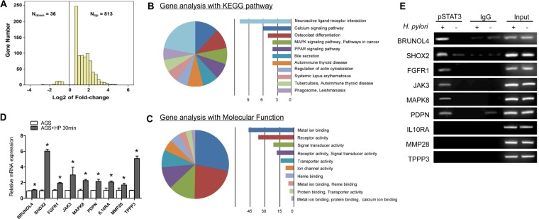 Identification of key tumorigenic-regulators directly controlled by STAT3 following H. pylori infection (A) 849 genes were differently expressed in ATCC43504-infected AGS relative to control group. (B) Top 11 dysregulated pathways using the KEGG database. (C) Gene ontology of the cDNA microarray. (D) Quantitative RT-PCR validation of the 9 potential targets in AGS cells treated with ATCC43504 for 30 min relative to the untreated cells. GAPDH was used as an internal control. (E) Confirmation of the potential pSTAT3 target genes by ChIP-PCR using anti-pSTAT3 (Tyr705) antibody or irrelevant antibody against IgG (negative control) on ATCC43504 infected and non-infected AGS cells. Input represents the genomic DNA. * P