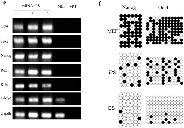 Characterization of the mRNA induced pluripotent stem cells (iPSCs). ( a ) The morphological characteristics of iPSCs with round ES-like colonies were distinguished by tightly defined borders and a high nuclear/cytoplasm ratio (magnification 40×); ( b – d ) showed positive alkaline phosphatase activity of the mRNA iPS either grossly ( b , magnification 10×) or through microscopic observation ( c , magnification 100×) and ( d , magnification 200×); ( e ) Total RNA was isolated from three mRNA iPS clones and non-transfected MEF cells were used for RT-PCR to detect expression of pluripotency markers: Oct4 , Sox2 , Nanog , Rex1 , Klf4 and cMyc . Results showed that iPS colonies expressed all markers in contrast to MEF cells; ( f ) Detection of the methylation status of Nanog and Oct4 promoters in both MEF cells, iPS and ESCs by bisulfite sequencing revealed a high percentage of de-methylation in both promoters compared to the parent MEF cells. Open circles indicate the un-methylated state and dark, filled circles indicate the methylated state.