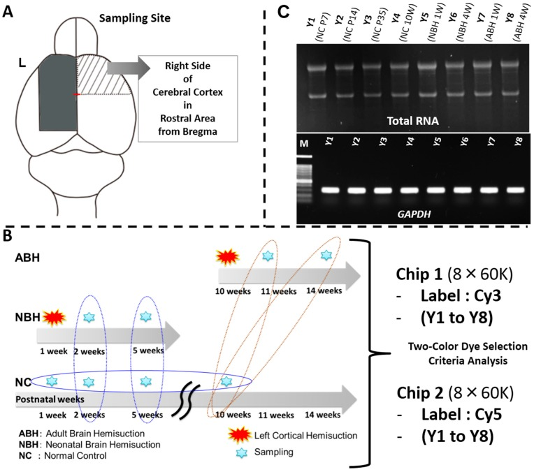 DNA microarray analysis of the brain region. ( A ) Sampling site of mouse whole brain and cerebral cortex sampled; ( B ) Sampling points and DNA microarray analysis on two 8 × 60 K microarray chips using a two-color approach. Brain tissues were ground to a fine powder in liquid nitrogen and stored at −80 °C; and ( C ) Total RNA extraction from the finely powdered brain tissues. Total RNA quality was confirmed by agarose-gel electrophoresis. Gel images for the GAPDH gene expression as a positive control by RT-PCR, and the PCR product bands stained with ethidium bromide. For further details, see the Experimental Section .