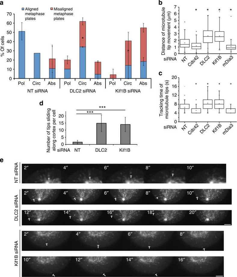 DLC2 and Kif1B regulate spindle positioning and microtubule growth. ( a ) Hela cells stably expressing mCherry-lifeact and GFP-α-tubulin were transfected with siRNAs and plated onto micropatterned dishes with parallel fibronectin lines. Time-lapse recordings were then made collecting images every minute to follow actin behaviour and spindle orientation (see Supplementary Movies 4–6 and Supplementary Fig. 7 ). The movies were then quantified by calculating the percentages of cells with a specific actin behaviour based on kymographs and spindle orientation (Pol, polarized actin; Circ, circular movement of actin; Abs, absent actin polarization). Blue bars represent cells with mitotic spindles aligned with the fibronectin line; red bars, misaligned spindles. Significance was calculated between corresponding subgroups (shown are means±1 s.d.; n =3 experiments). ( b – e ) HeLa cells stably transfected with GFP-EB3 and transfected with the indicated siRNAs were filmed every 2 s. Microtubule dynamics was then quantified in at least 10 cells, following 10 plus-ends per cell (see Supplementary Movies 7–9 ). The box-and-whisker plots show total distance tracked ( b ) and total time tracked ( c ) ( n =45 microtubule tips). Microtubule tips sliding along the cell cortex were also quantified in 10 cells per type of siRNA transfection ( d ). The still images in panel e , taken every 2 s, show examples of microtubule tips tracked. Scale bars, 1 (upper panel in e ) and 2 μm (lower panels in e ). (* P
