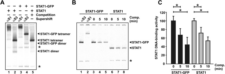 (A) Electrophoretic mobility shift assay (EMSA) for the identification of green-fluorescent protein-tagged STAT1 (STAT1-GFP) and untagged STAT1. Extracts from reconstituted STAT1-negative U3A cells expressing recombinant GFP-tagged or untagged STAT1 were incubated at room temperature with a [ 33 P]-labelled double-stranded oligonucleotide containing two GAS sites in tandem orientation (2xGAS). Supershift reactions were performed by adding anti-STAT1 antibody C-24 (lanes 1 and 3), and, as control, an unspecific STAT3 antibody (lanes 2 and 4). For competition, a 750-fold molar excess of unlabelled GAS was added to the reaction (lane 5). Asterisks mark unspecific bands. (B,C) Similar dissociation kinetics of STAT1-GFP and STAT1 from a single consensus GAS site (M67). Cellular extracts from U3A cells expressing tagged or untagged STAT1 were incubated for 15 min with [ 33 P]-labelled M67 before on ice a 750-fold molar excess of unlabelled M67 was added for 0, 5, and 10 min, respectively. (B) Specific DNA-binding activity was detected by autoradiography in vacuum-dried gels. (C) The histograms demonstrate the decline in specific DNA-binding activity during challenge with unlabelled M67 for STAT1-GFP (black columns) and untagged STAT1 (grey columns). Bars and asterisks indicate significant differences between samples over time.