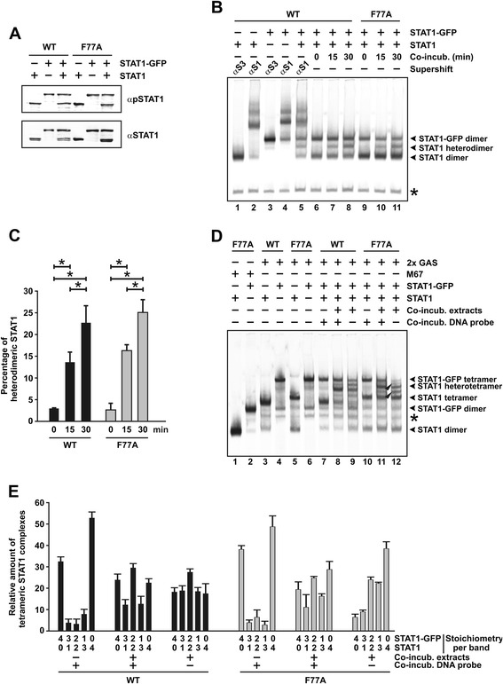Reciprocal aminoterminal interactions are not required for interdimeric protomer exchange. (A) Expression of tyrosine-phosphorylated GFP-tagged and untagged STAT1 and their corresponding F77A mutants in cellular extracts used for EMSA. A representative Western blot experiment using a STAT1-specific phospho-tyrosine antibody (top panel) and the corresponding re-blot after the stripping off of bound immunoreactivity and re-incubation with pan-STAT1 antibody C-24 (bottom panel) is shown. (B,C) Mutation of phenylalanine 77 to alanine does not interfere with the formation of heterodimeric STAT1 complexes. Extracts from U3A cells expressing wild-type or mutant STAT1 with and without the GFP-tag were co-incubated and the occupancy of the M67 element by heterodimers monitored over time using EMSA. A typical autoradiogram (B) and a quantification of three similar experiments (C) are shown. The histograms present means and standard deviations as well as significant differences over time. (D,E) Aminoterminal contacts between monomers are dispensable for the dissociation and re-association of STAT1 dimers. Extracts from U3A cells expressing either STAT1-GFP or untagged STAT1 were separately incubated in the presence of [ 33 P]-2xGAS before being loaded together onto the gel (lanes 7 and 10) or incubated as a mixture in the presence (lanes 8 and 11) or absence of [ 33 P]-2xGAS, which in the latter case was added immediately before gel electrophoresis (lanes 9 and 12). Reaction time was 45 min for all samples. An asterisk at the gel margin marks an unspecific band. (E) Quantification of band intensities corresponding to tetrameric STAT1 bound to tandem GAS sites across the indicated stoichiometry of GFP-tagged versus untagged STAT1 molecules. Numbers under each column give the ratio of STAT1-GFP/STAT1 molecules for each band. The protocol used for these experiments was similar to that shown in (D) .