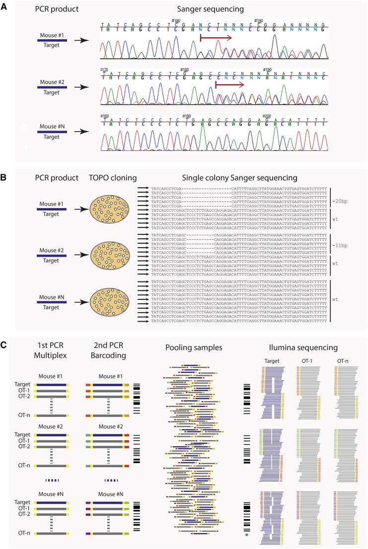 Sequencing-based methods to identify CRISPR-edited alleles in founder mice. (A) Sanger sequencing of PCR products around gRNA binding site. PCR amplification from mouse tail biopsy DNA will generate a mixture of two or more (mosaic) amplicons representing allelic variants in the mouse. This can cause overlapping peaks on the chromatogram (red arrow) and difficulty in identifying the mutation(s). (B) Sequencing of plasmid-cloned PCR products. Each clone contains one amplicon/allelic variant present in a mouse. This requires sequencing at least 10 single colonies per targeting event per mouse ( e.g. , one gene × 20 founder mice × 10 colonies = 200 sequences). In the case of multiplexed editing, proportionately more clones must be sequenced. (C) Next-Gen-based multiplexed sequencing. This method also allows testing for off-target (OT) events and the presence of mosaicism. Target and OT PCR products from one founder mouse are labeled with unique barcode. All PCR products from up to 96 mice (one mouse = one barcode) are pooled together and sequenced. *, mosaic animal.