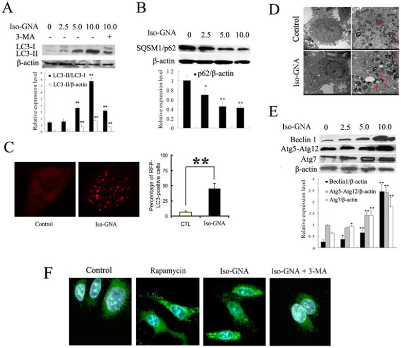 Evident Autophagy Was Observed in Iso-GNA Treated 549 cells. (A) LC3 expression in A549 cells. Different concentrations of iso-GNA were incubated with A549 cells for 24 h. and 3-MA (2 mM) was treated as an autophagy inhibitor. (B) SQSTM1(p62) expression in A549 cells. Different concentrations of iso-GNA were incubated with A549 cells for 24 h. (C) 10 μM iso-GNA were treated with A549 cells(expression RFP-LC3)for 24 h. RFP-LC3 dots was observed by Leica aser-scanning spectrum confocal system. (D) 10 μM iso-GNA were treated with A549 cells for 24 h, then cells were subjected to transmission electron microscopy to observe double-membraned vacuolation (arrows) (E) Various concentrations of iso-GNA were treated with A549 cells for 24 h. then Beclin 1, Atg7 and Atg12-Atg5 complex expression level were detected by western blot. (F) A549 cells treated with 2 μM rapamycin, 10 μM iso-GNA with or with out 4 mM 3-MA for 24 h. Then LC3 immunofluorescence image in A549 cells were detected by a fluorescence microscope. Data of three independent tests were shown as means ± s.d. *p