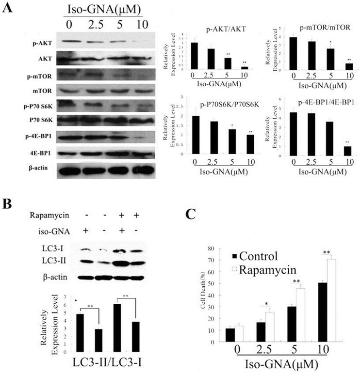 Iso-GNA induced autophagic cell death through the inhibition of Akt/mTOR Pathway. (A) Western blot was used to detect the p-Akt, Akt, p-mTOR, mTOR, p-p70 S6K, p70 S6K, p-4E-BP1 and 4E-BP1 expression in various concentrations of iso-GNA treated A549 cells. (B) 0, 10 μM of iso-GNA with or without 1 μM rapamycin were added to A549 cells for 24 h, western blot was employed to detect the LC3 expression level. (C) The indicated concentration of iso-GNA with or without 1 μM rapamycin were treated with A549 cells for 24 h, trypan blue dye was employed to stain the cells and analyze the death ratio. Data of three independent tests were shown as means ± s.d. *p