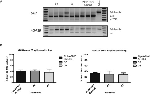 Splice-switching activities of bi-specific (D2, D3) and a 1:1 molar cocktail of singly conjugated Pip6a-PMOs following intramuscular injection ( n = 3) into the tibialis anterior muscle of mdx mice. ( A ) RT-PCR analysis of Dmd exon 23 and Acvr2b exon 5 removal from the mature transcripts. ( B) Quantitative PCR analysis of Dmd exon 23 and Acvr2b exon 5 skipping activity. Error bars = S.E.M.