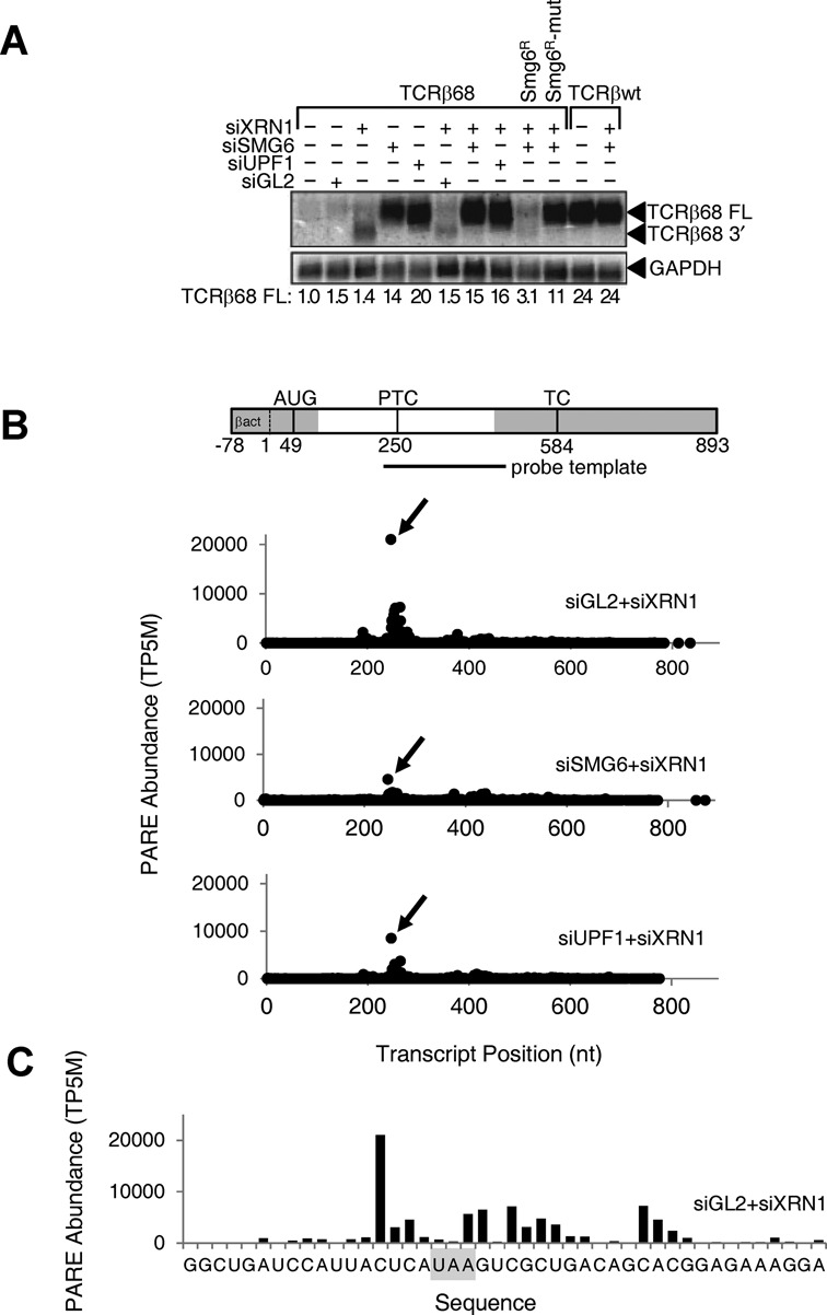Effect of SMG6 or UPF1 depletion on the concentration of the full-length TCRβ68 transcript and its 3′-terminal SMG6 cleavage product. HeLa cells that expressed a TCRβ68 transcript harboring a PTC at codon 68 (TCRβ68) or a wild-type TCRβ transcript lacking a PTC (TCRβwt) were transfected with siRNAs directed against XRN1, SMG6 or UPF1, or with siGL2 (negative control). Total <t>RNA</t> extracted from these cells was used to prepare <t>PARE</t> libraries. (A) Detection of both a full-length transcript (TCRβ68 FL) and a 3′-terminal decay intermediate (TCRβ68 3′) by northern blot analysis. As a control, some cells were transfected with an siRNA-resistant SMG6 gene (SMG6 R ) or a catalytically inactive variant thereof (SMG6 R -mut). In each case, the concentration of the full-length transcript relative to that in mock-transfected cells was calculated after normalization to GAPDH mRNA (internal standard). (B) D-plots for the TCRβ68 reporter identifying monophosphorylated 5′ ends detected by PARE in cells transfected with siXRN1 and either siGL2, siSMG6 or siUPF1. A map of the TCRβ68 transcript is shown above the D-plots. Alternating gray and white zones indicate exons. AUG, translation initiation codon; PTC, premature termination codon; TC, natural termination codon. Because the 5′-terminal portion of the reporter was derived from the human β-actin gene, TCRβ68-derived PARE sequences there cannot be distinguished from those originating from the endogenous β-actin transcript. Transcript positions represent the distance from the first nucleotide unique to the TCRβ68 reporter. (C) High-resolution D-plot identifying 5′ ends detected by PARE in RNA from cells transfected with siGL2 and siXRN1. Gray rectangle, PTC.