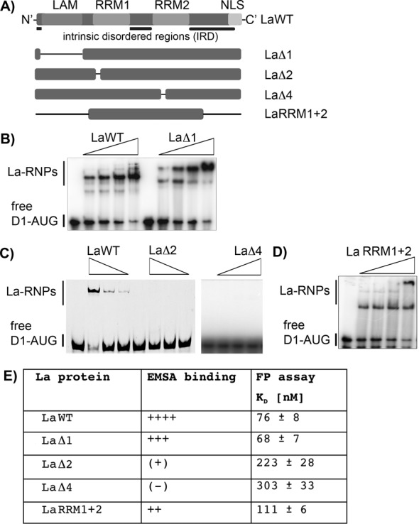 RRM1 and RRM2 are required for binding of D1-AUG RNA. ( A ) La protein mutants analyzed in RNA-binding studies. The scheme shows LaWT and its respective mutants; the black lines indicate the location of amino acid deletions. The LAM was deleted in LaΔ1, the RNP-2 consensus sequence was deleted in RRM1 and RRM2 for LaΔ2 and LaΔ4, respectively. The N-terminal region and the C-terminal region upstream and downstream of RRM1 and RRM2, respectively, are deleted in LaRRM1+2. For more details and purified proteins see Supplementary Figure S2. ( B ) ( C ) and ( D ) EMSAs were carried out with 40, 80, 160 and 320 nM recombinant La protein. Free D1-AUG RNA and La–RNPs are indicated. FP assays of all LaWT and mutant proteins were performed and are shown in Supplementary Figure S2. ( E ) Summary of D1-AUG RNA-binding studies using La protein mutants. The results of the RNA-binding studies by EMSA and FP show a high degree of similarity. The affinities determined by FP of LaΔ1, and LaRRM1+2 are similar to the K D of the LaWT protein. This is also represented by the EMSA studies.