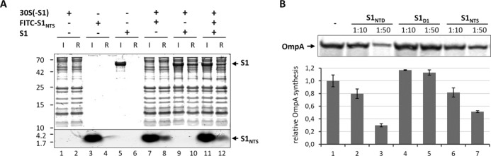 Free S1 NTS binds to the ribosome and interferes with translation of the canonical ompA mRNA. ( A ) Purified S1-depleted 30S ribosomes (30S(-S1)) were incubated in the absence (lanes 1 and 2) or in the presence of FITC labelled S1 NTS (lanes 7 and 8), native protein S1 (lanes 9 and 10) or both (lanes 11 and 12). Likewise, FITC labelled S1 NTS (lanes 3 and 4) or native S1 (lanes 5 and 6) were incubated in the absence of ribosomes. Before (input; lanes 1, 3, 5, 7, 9 and 11) and after ultrafiltration using 100 kDa MWCO Amicon concentrators (Millipore) samples were taken and the presence of the respective proteins and the S1 NTS peptide in the ribosome fraction (ribosome fraction; lanes 2, 4, 6, 8, 10 and 12) was determined by SDS-PAGE. ( B ) In vitro translation of ompA mRNA in the absence (lane 1) or in the presence of a 10- or 50-fold molar excess over ribosomes of S1 NTD (lanes 2 and 3), S1 D1 (lanes 4 and 5) or S1 NTS (lanes 6 and 7), respectively. The assay was performed in triplicate and one representative autoradiograph is shown. Graph representing the quantification of three independent assays is given below. Error bars represent the standard deviation of the mean.